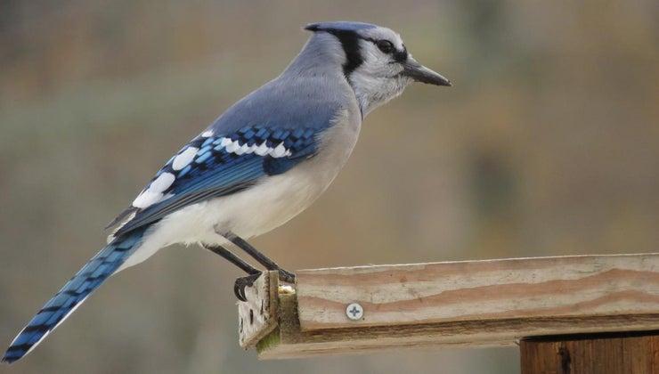 female-blue-jay-look-like