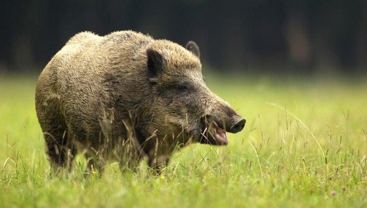 female-boar-called