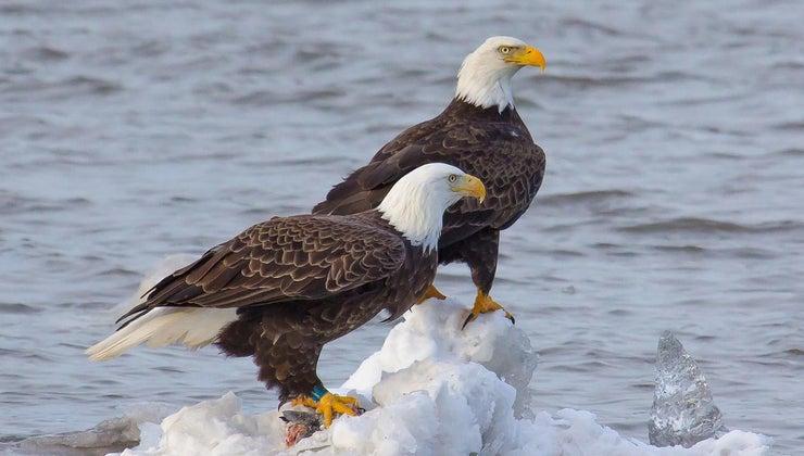 female-eagle-called