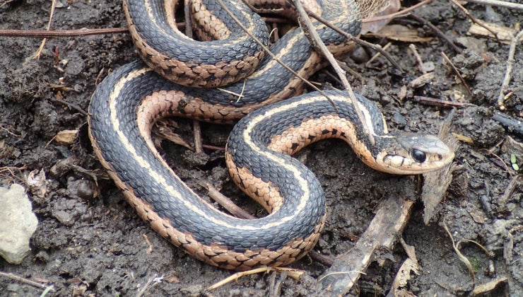 female-snake-called