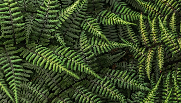 ferns-reproduce