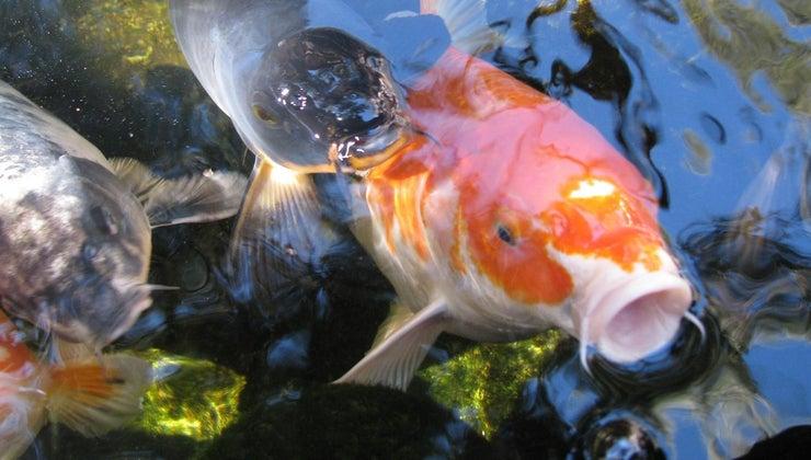 fish-tongues
