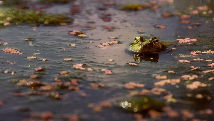 french-people-called-frogs