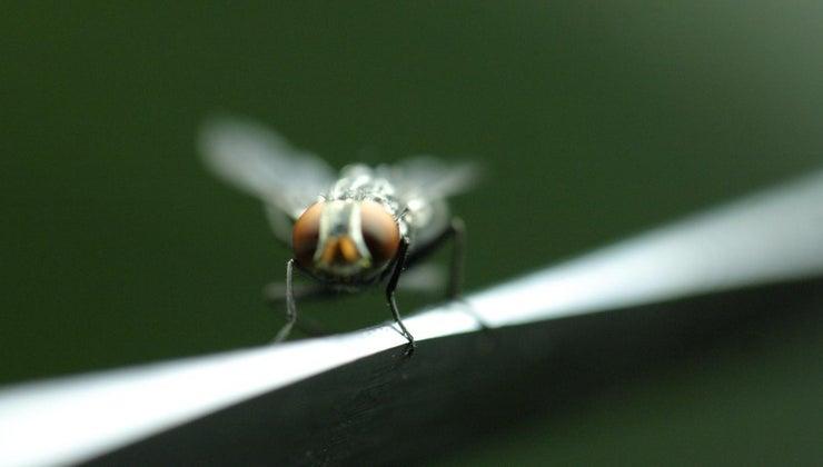 fruit-flies-bite-people