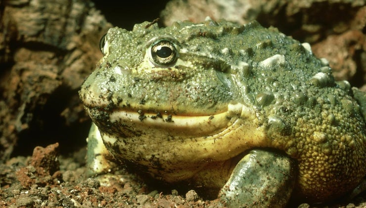 function-fat-bodies-frogs