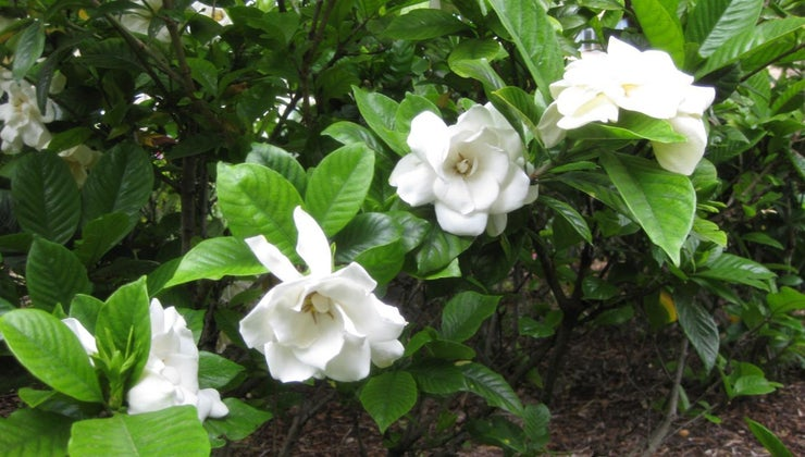 gardenia-leaves-turn-yellow