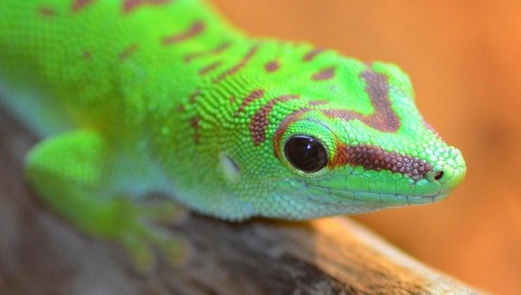 geckos-eat