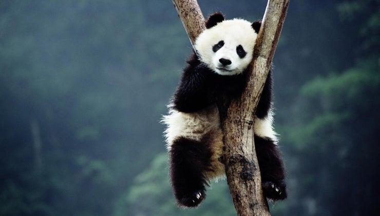 giant-pandas-becoming-extinct