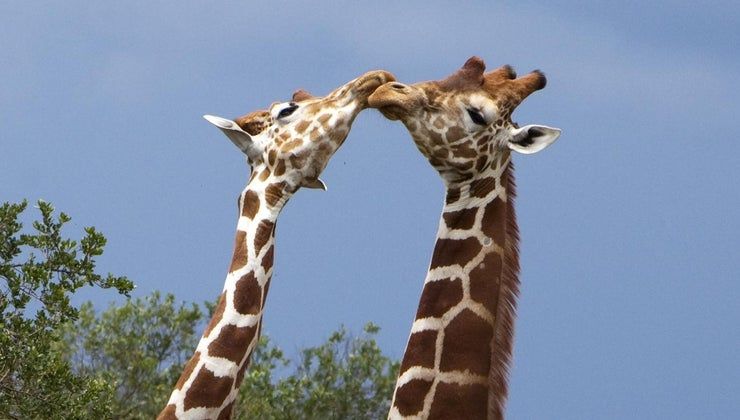 giraffes-communicate