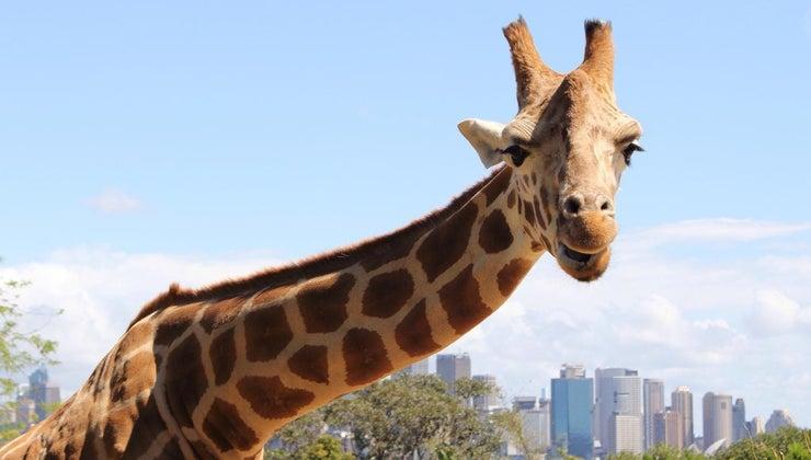 giraffes-endangered-species