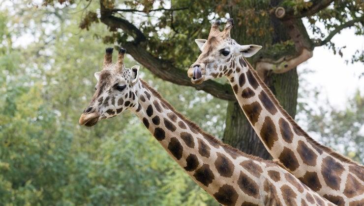 giraffes-live