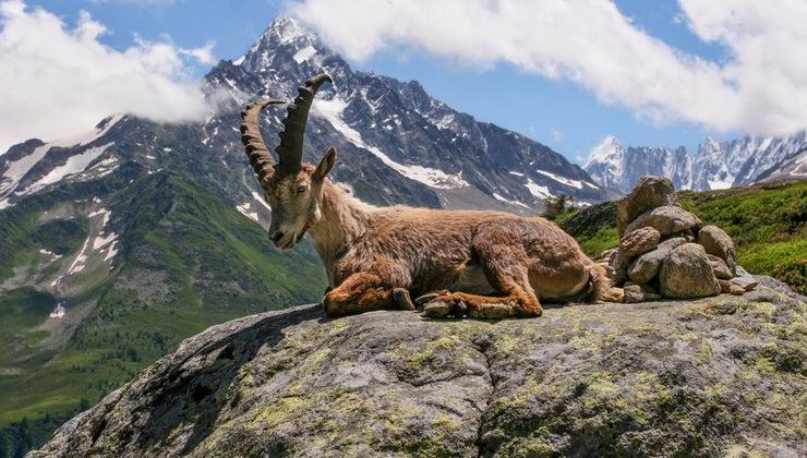 goats-live