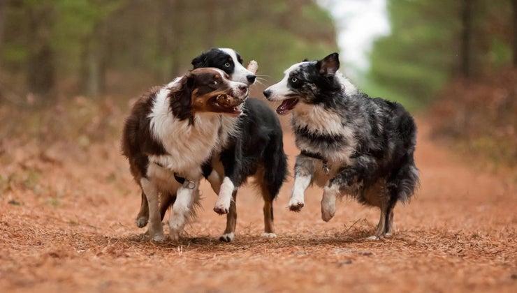 good-names-australian-shepherd