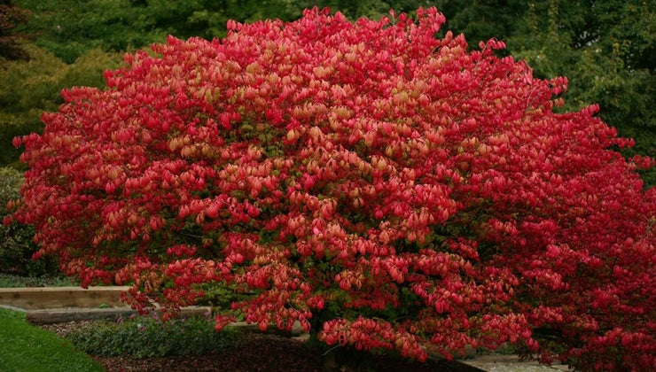 good-time-plant-burning-bush