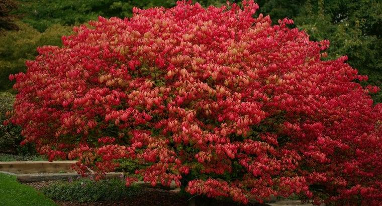 good-time-plant-burning-bush