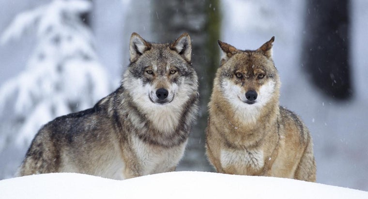 gray-wolf-s-ecological-niche