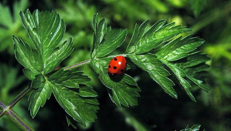 green-ladybugs