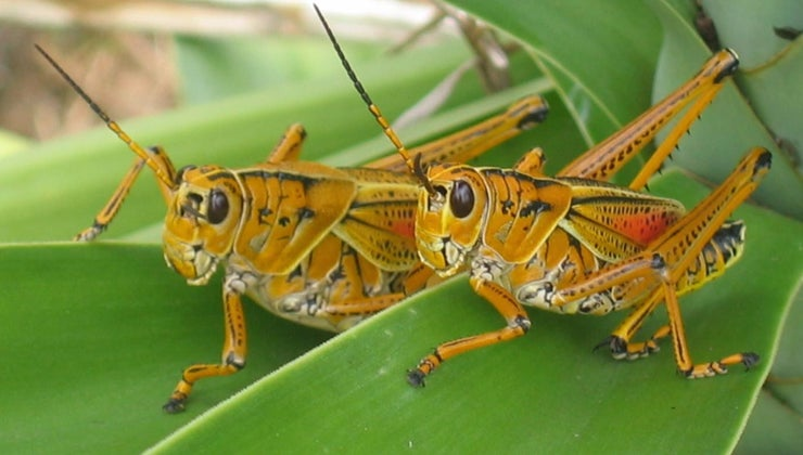 group-grasshoppers-called