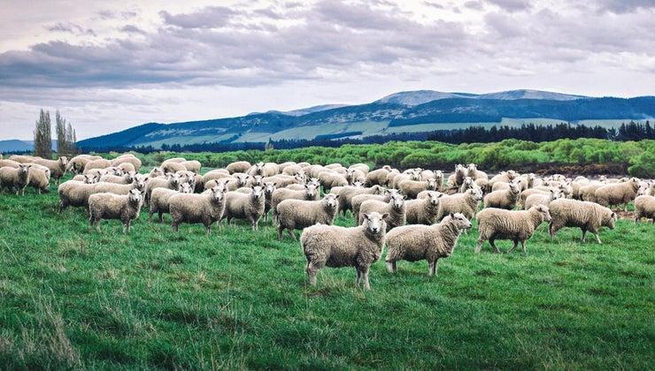 group-sheep-called