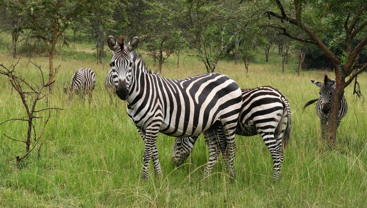 group-zebras-called