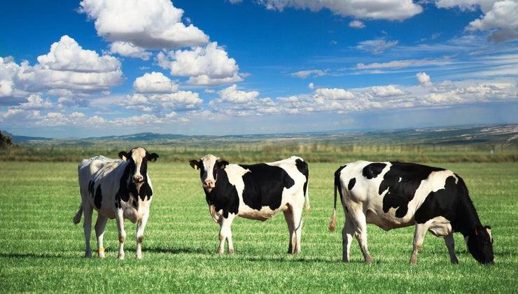 habitat-cow
