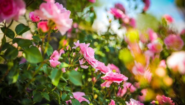 habitat-roses