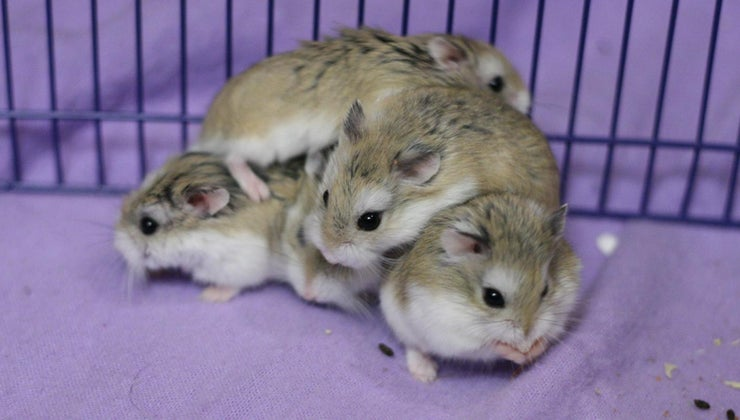 hamsters-fight-other