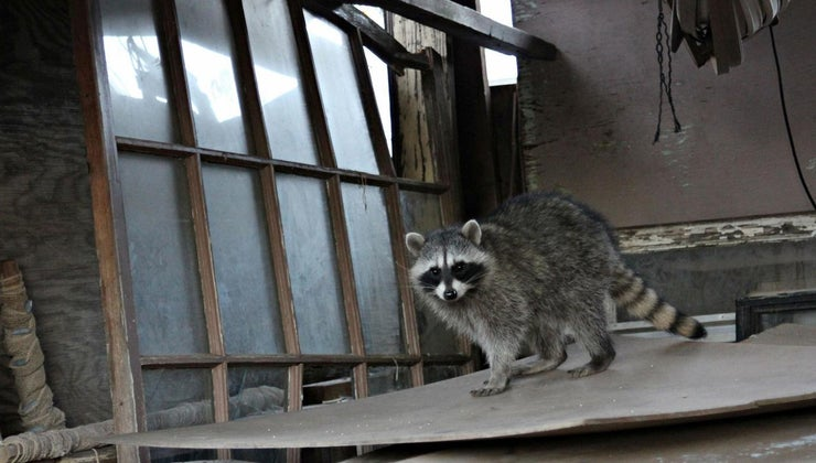 home-remedies-rid-raccoons