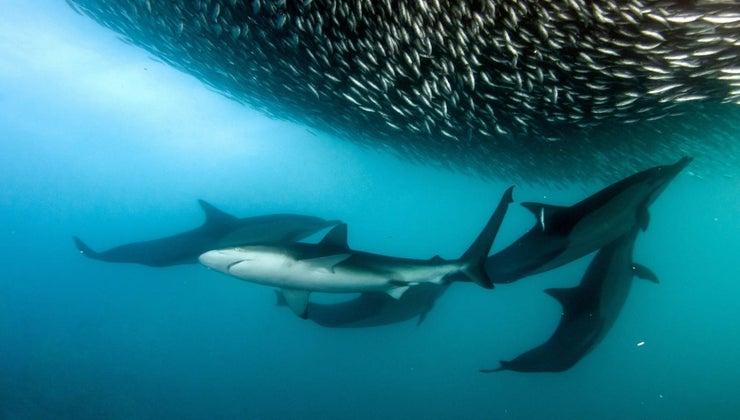 sharks-dolphins-alike