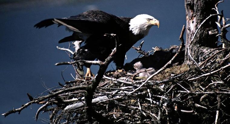 bald-eagles-reproduce