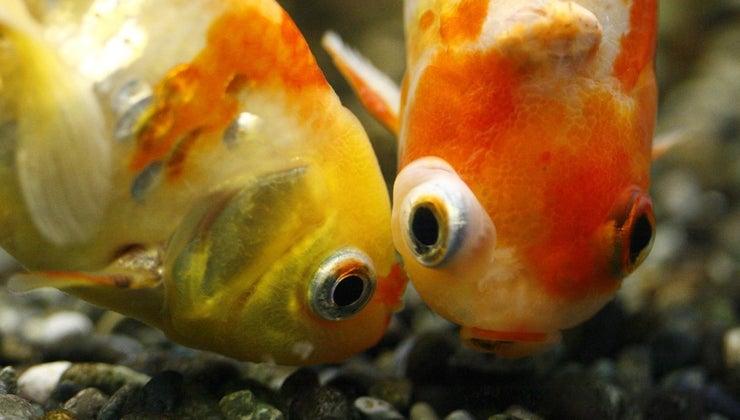 goldfish-make-babies