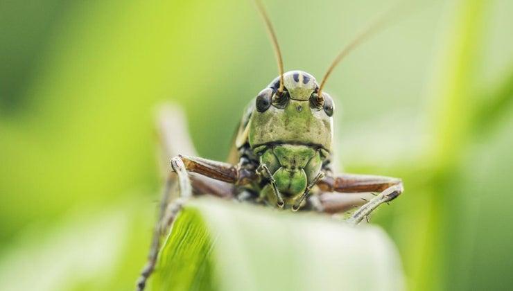 grasshoppers-adapt-environment
