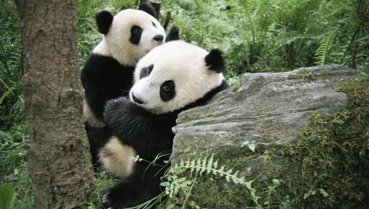pandas-give-birth