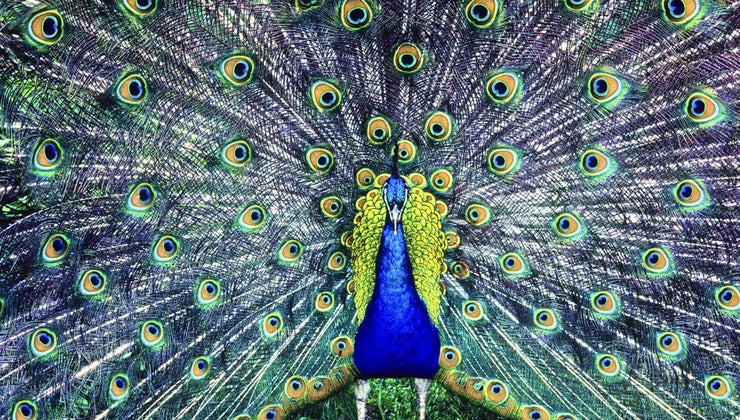 peacocks-give-birth