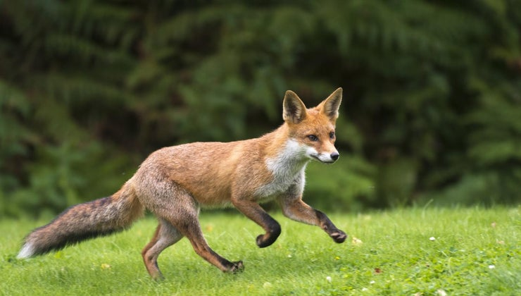 fast-can-fox-run