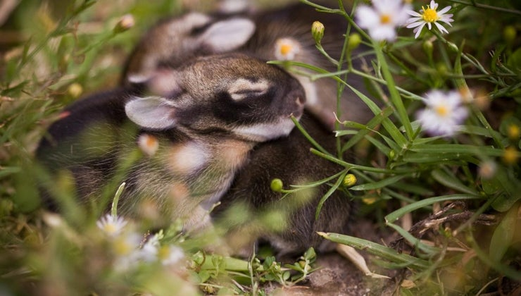 long-baby-rabbits-stay-nest