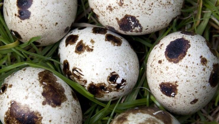 many-eggs-quail-lay