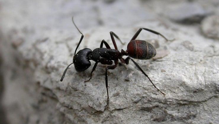 many-legs-ants