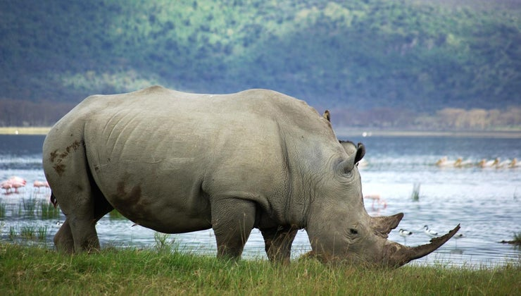 many-white-rhinos-left-world