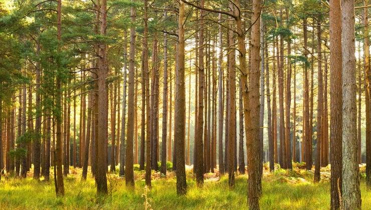 water-pine-tree
