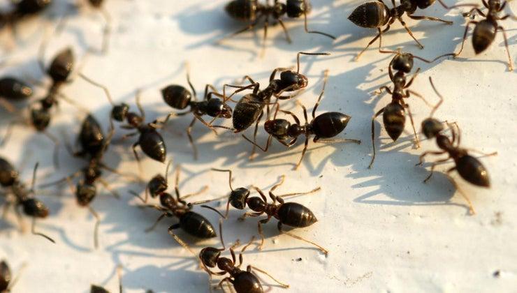 rid-big-black-ants