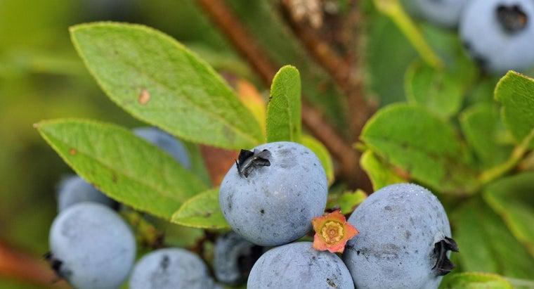 identify-blueberry-bush-leaf
