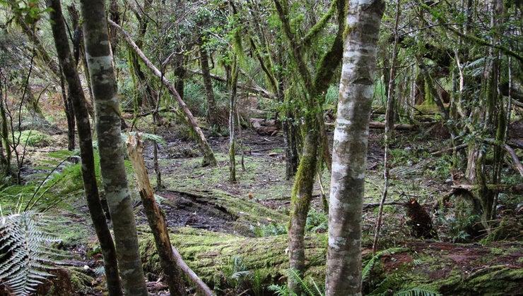 identify-sassafras-trees