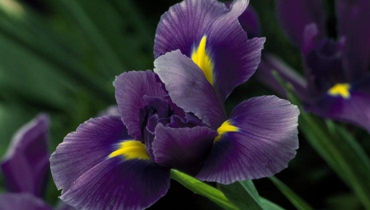 iris-flowers-bloom