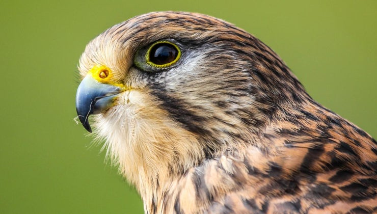 irony-federigo-s-falcon