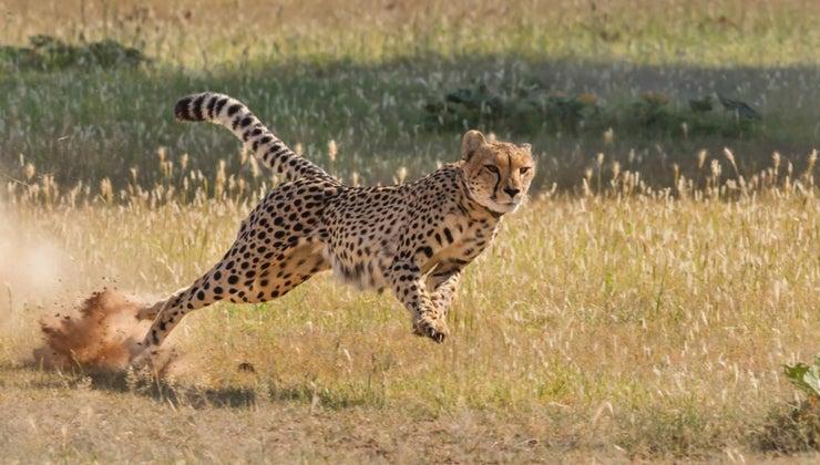 ostrich-faster-cheetah