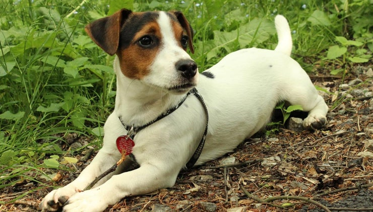 jack-russell-terriers-shed