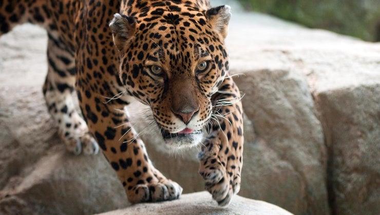 jaguars-live