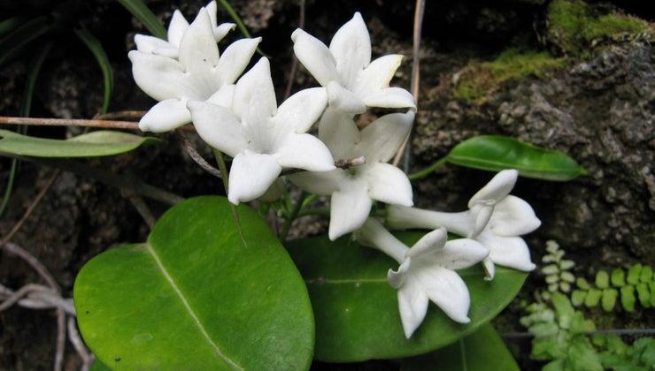 jasmine-poisonous-cats