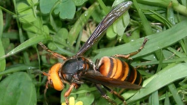 Murder Hornets Have Landed in the U.S. — But Don't Panic Yet